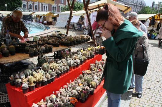 Kaktuszgyűjtők paradicsoma a Bocskai téren