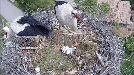 Eddig két gólya kelt ki a magyarfenesi fészekben