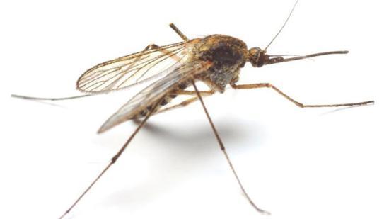 Szúnyogcsípés és szívféreg