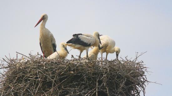 Gólyagondnokokat toboroz a madárvédő egyesület