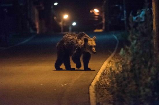 Ro-Alert riasztás egy medve miatt. Hol történt?