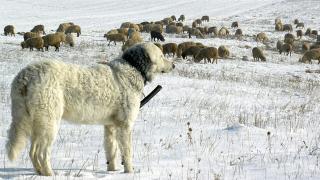 Néhány tudnivaló a nagy testű pásztorkutyákról