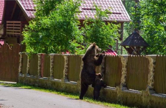 Egyelőre a lakosságra bízta a kormány a medvekérdés orvoslását