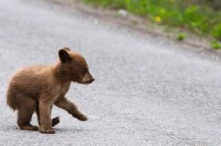 Aranyosgyéresen filmeztek le egy medvebocsot