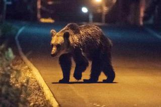 Újabb medve jelenlétére figyelmeztették a lakosságot Aranyosgyéresen