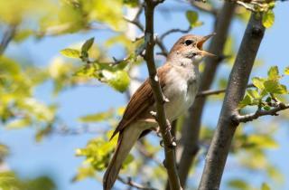 Online Fülemülék Éjszakája: virtuális madárles és komolyzene