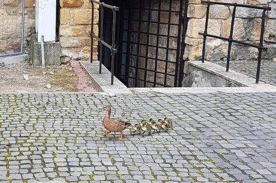 Betotyogott a városba a kacsacsalád