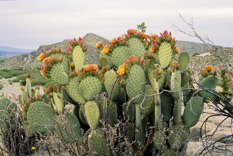 A kaktusz nem csak szobanövény, hanem nasi is