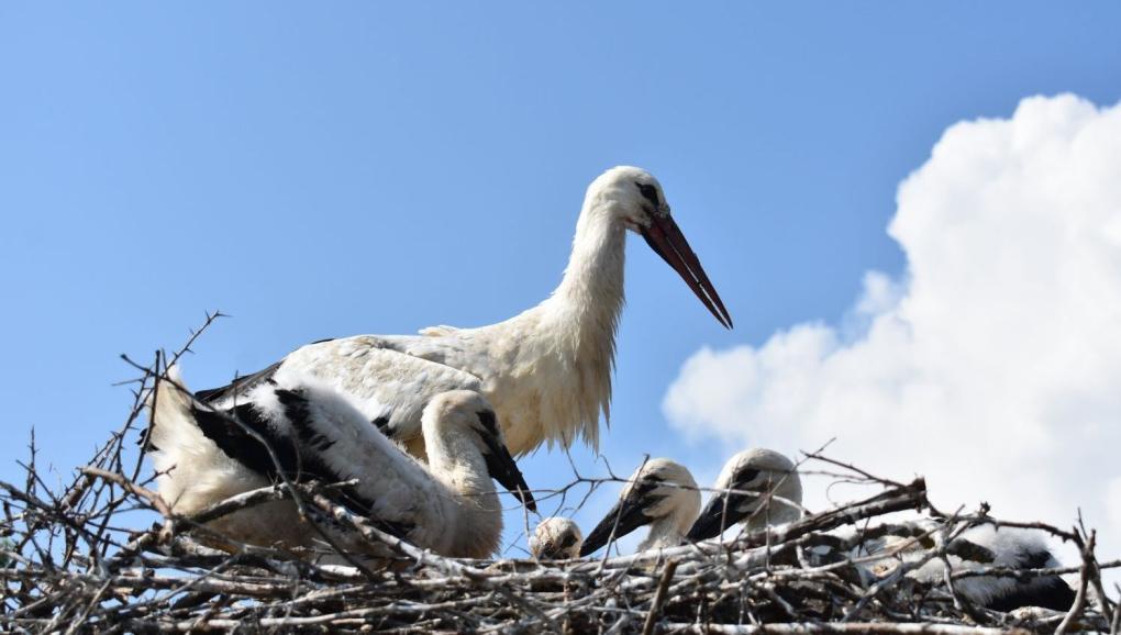 Akár tananyag lehetne a gólyafészek megfigyelése