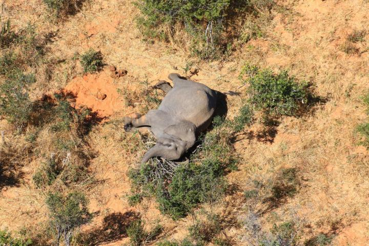 Két hónap alatt több mint 350 elefánt múlt ki Botswanában
