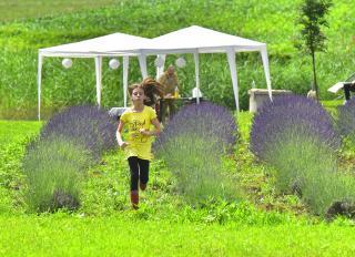 Levendula Napok Kolozson: távol a város zajától, lila virágok között