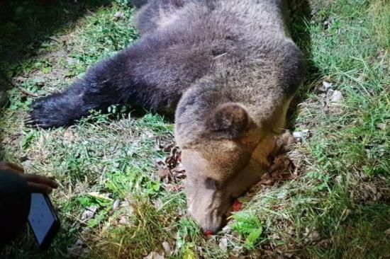 Kilőttek egy medvét Csíkszeredában