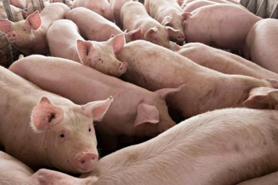 Több mint négyszáz sertéspestisgócot tartanak nyilván az országban