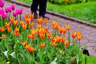 Színpompás tulipánok a kolozsvári botanikus kertben