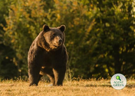 Törvénytelenül lőtték ki Arthurt, az EU vélhetően legnagyobb barnamedvéjét Székelyföldön