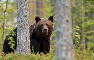 A medvepopuláció tudományos felmérését és a kilövési kvóta szabályozását kéri a Vadászegyesületek Szövetsége