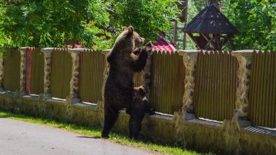 Tánczos Barna: Tusnádfürdőn naponta okoznak károkat a medvék