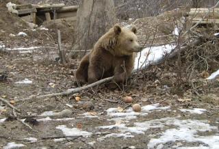 Huszonegyszer riasztottak medvék miatt Hargita megyében